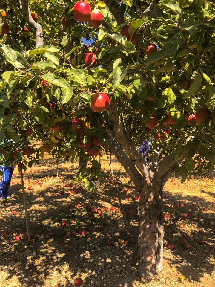Recoge manzanas en OakGlen